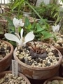 第二弾!(笑)原種シクラメンが、咲きました