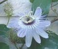 白い花シリーズ