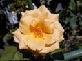 黄色のバラと朝顔。