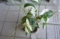 挿し木のバラ開花しました