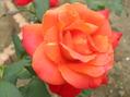 秋咲き1番の薔薇