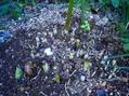 ネリネ リコリス(黄花ヒガンバナ)コルチカムの芽