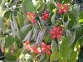 ハナミズキの赤い実、赤飯饅頭、初雪蔓。