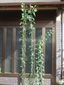 今年挿し木したバラ苗