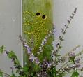 ヤマハッカの花