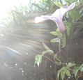 アジサイが咲き出しました。