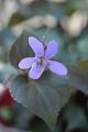 銅葉ビオラ'紫姫'