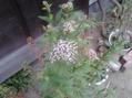 フジバカマ、ちょっとだけ咲きました。