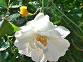 今朝の庭から 白薔薇3種