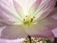 コルチカム‥三分咲き…。