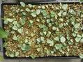 原種シクラメン 種蒔きより1年経過した小苗
