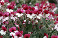 【植物図鑑】エキウムなど6種類の植物情報追加