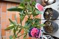 菊、西洋シャクナゲ