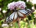 アサギマダラ(蝶)を見に行きました