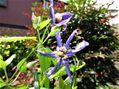 我が家のブルー系 咲いてきました。