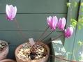 原種シクラメン・ヘデリフォリウム・ライサンダーが咲いた。
