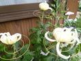 菊、開花に向かう