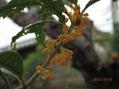 少しだけ咲いたキンモクセイ