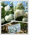 続...薔薇園の思い出。