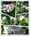 続々...薔薇園の思い出