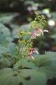 花色いろいろキバナアキギリ