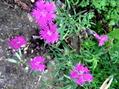 今日の庭から:秋の草花