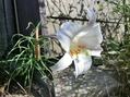 高砂百合が咲いています。