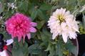 今日の草花。