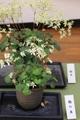 「大文字草展」新潟県立植物園