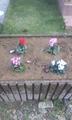 ガーデンシクラメンと黄色いバラを植えたよ