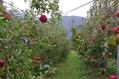 りんご狩りに行ってきたよ