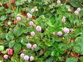 秋の庭(ツワブキ)