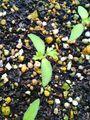 ブルーレースフラワー 種蒔きから3週間