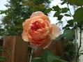 春よりきれいなバラ
