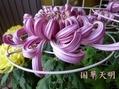 文化の日に咲く菊。