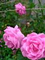 庭の薔薇③