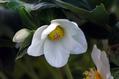Helleborus niger 'ジョーセレクト'