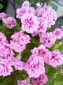 我が家の花❇️ピンク色編③