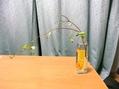 八重咲きヘブンリーブルー[i:159]