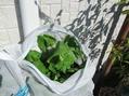 種まき葉物野菜のその後