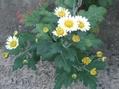 菊の季節ですね