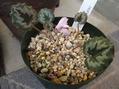 原種シクラメン、開花と発芽