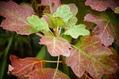 今朝の庭 (紅葉)