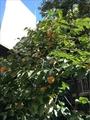 干し柿の準備