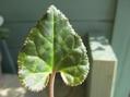 原種シクラメン・グラエカムルビーの葉っぱ