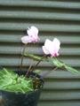 原種シクラメンが色々と咲いています。