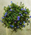 💙貴重な色の花💜