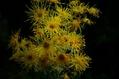 わが家の庭  菊