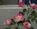 昨日・今日の園芸作業と、ソルベ・フランボワーズ