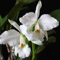 C. labiata f. alba 'do Pascon'